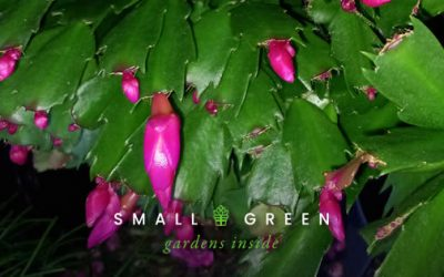 How to care for… your Christmas cactus